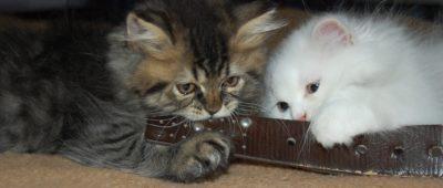 Gatinho novo com gato residente