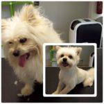 cão antes e depois de tosquia