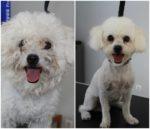 cão depois de banho e tosquia