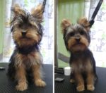 cachorro york depois de banho e tosquia