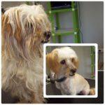 cadela antes e depois de tosquia