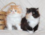 dois bebes persas