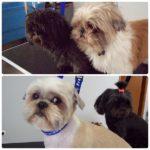 dois cães antes e depois de tosquia