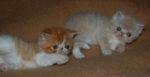 dois gatinhos exóticos