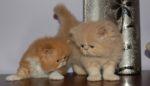 dois gatinhos persas