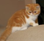 gatinha exótica bicolor