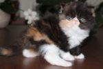 gatinha persa calico