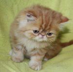 gatinha persa vermelho