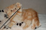 gatinho exótico a brincar