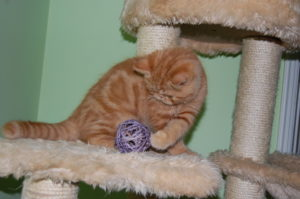 gatinho exotico no arranhador