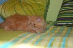 gatinho exotico vermelho