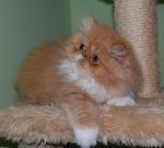 gatinho persa bicolor