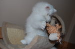gatinho persa branco a brincar