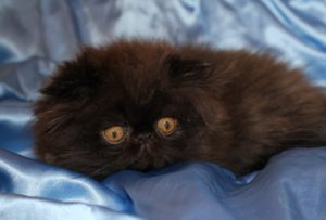 gatinho persa preto
