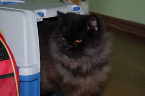 o gatinho preto na trasportadora
