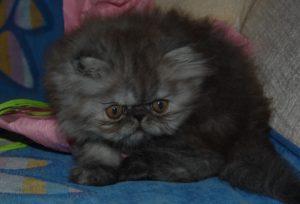passo para habituar o gatinho