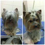 yorkshire terrier penteado